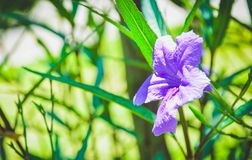 Pi?kni purpleflowers kwitn? Ranek sunbathing zdjęcia stock