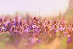 Piękni purpurowi łąka kwiaty Zdjęcia Royalty Free