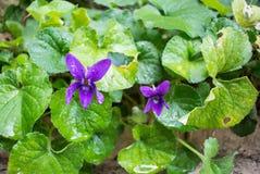 Piękni purpurowi fiołki Zdjęcia Royalty Free