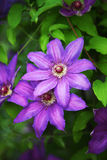 Piękni purpurowi kwiaty clematis nad zielonym tłem z bliska Obrazy Royalty Free
