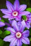 Piękni purpurowi kwiaty clematis nad zielonym tłem z bliska Fotografia Royalty Free