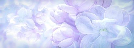 Piękni purpurowi lili kwiaty kwitną gałęziastego panoramy tło miękkie ogniska, Powitanie prezenta karty szablon Pastelu stonowany fotografia royalty free