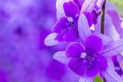 Piękni Purpurowi wianku winogradu kwiaty zdjęcia stock