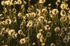 Piękni puszyści dandelions w zmierzchu świetle Zdjęcie Royalty Free
