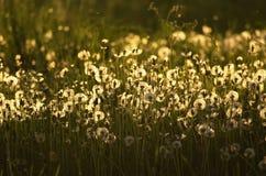 Piękni puszyści dandelions w zmierzchu świetle Fotografia Royalty Free