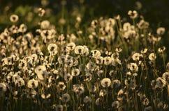 Piękni puszyści dandelions w zmierzchu świetle Zdjęcia Royalty Free