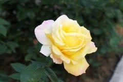 Piękni różani krzaki obraz royalty free