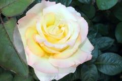 Piękni różani krzaki zdjęcie royalty free