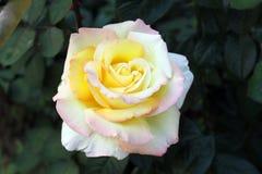 Piękni różani krzaki fotografia royalty free