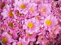 Piękni różowi chryzantemy stokrotki kwiaty Zdjęcie Stock