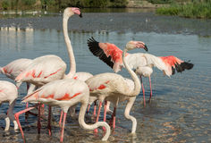 Piękni różowi flamingów ptaki w Camargue parku narodowym w Francja Zdjęcia Royalty Free