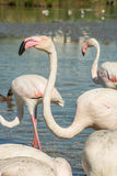 Piękni różowi flamingów ptaki w Camargue parku narodowym w Francja Zdjęcie Stock
