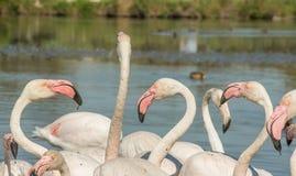 Piękni różowi flamingów ptaki w Camargue parku narodowym w Francja Obraz Royalty Free