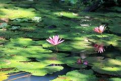Piękni różowi Lotosowi kwiaty kwitnęli na jasnym jeziorze w wojnie Zdjęcie Royalty Free