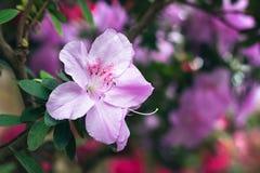 Piękni różowi Rododendronowi drzew okwitnięcia Azalia w naturze Zbliżenie menchii pustyni róży kwiat Obraz Stock