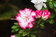 Piękni różowi Rododendronowi drzew okwitnięcia Azalia w naturze Zbliżenie menchii pustyni róży kwiat Zdjęcia Royalty Free