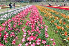 Piękni różowi tulipany przy środkiem lata lub wiosny dnia ziemia Zdjęcie Stock