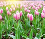 Piękni różowi tulipany przy środkiem lata lub wiosny dnia ziemia Fotografia Stock