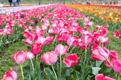 Piękni różowi tulipany przy środkiem lata lub wiosny dnia ziemia Zdjęcia Royalty Free