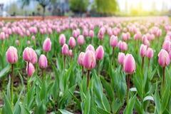 Piękni różowi tulipany przy środkiem lata lub wiosny dnia ziemia Obrazy Royalty Free