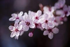 Piękni różowi wiosna kwiaty Obrazy Royalty Free