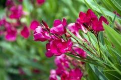 Piękni różowi zwrotników kwiaty Fotografia Royalty Free