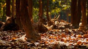 Piękni rogacze, willdlife fotografia, rogacz w lesie obraz royalty free