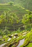 Piękni ryżowi tarasy w moring świetle, Bali, Indonezja Zdjęcia Royalty Free