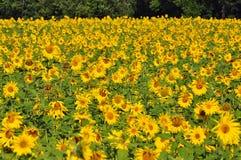 piękni słoneczniki Obrazy Stock