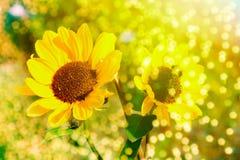 Piękni słoneczniki Fotografia Stock
