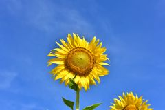 Piękni słoneczniki barwią kwiatu pole w Tajlandia Asia Wzgórze b Obrazy Royalty Free