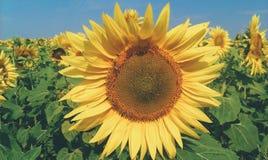 Piękni słoneczniki na polu, lato 2017 Obraz Royalty Free