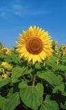 Piękni słoneczniki na polu, lato 2017 Obrazy Royalty Free