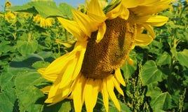 Piękni słoneczniki na polu, lato 2017 Obrazy Stock