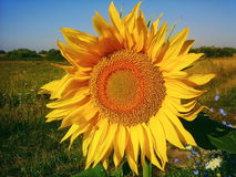 Piękni słoneczniki na polu, lato 2017 Obraz Stock