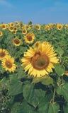 Piękni słoneczniki na polu, lato 2017 Fotografia Royalty Free