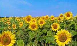 Piękni słoneczniki na polu, lato 2017 Zdjęcie Stock