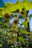 Piękni słoneczniki w tropikalnej roślinności na tureckiej linii brzegowej, indyk Zdjęcie Stock