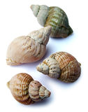 piękni seashells Obraz Royalty Free