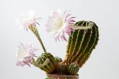 Piękni silky różowi kwitnie kaktusów kwiaty Zdjęcia Royalty Free