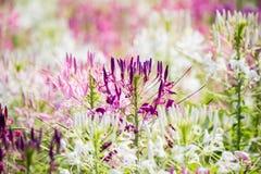 Piękni stubarwni Cleome hasslerianaSpider kwiaty lub różowa królowa obraz stock