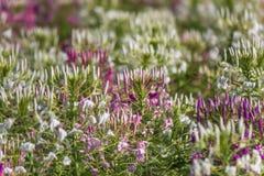 Piękni stubarwni Cleome hasslerianaSpider kwiaty lub różowa królowa fotografia stock