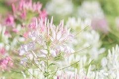 Piękni stubarwni Cleome hasslerianaSpider kwiaty lub różowa królowa zdjęcie royalty free
