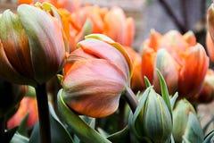 Piękni tęcza tulipany znajdujący w ogrodowej nieruchomości Fotografia Royalty Free
