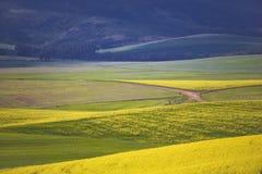 Piękni toczni wzgórza Canola kwitną w wiośnie Caledon, Zachodni przylądek, Południowa Afryka obraz stock
