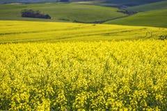 Piękni toczni wzgórza Canola kwitną w wiośnie Caledon, Zachodni przylądek, Południowa Afryka zdjęcie stock