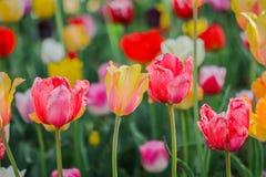 Piękni tulipany, kwiaty kwitnie w wiosna dniu obraz stock