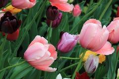 Piękni tulipany po wiosna deszczu fotografia royalty free