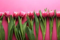 Piękni tulipany w rzędzie na różowym tle Obrazy Royalty Free