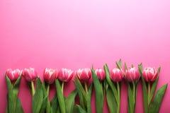 Piękni tulipany w rzędzie na różowym tle Zdjęcie Stock